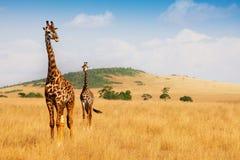 Girafes de masai marchant dans l'herbe sèche de la savane Image stock