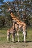 Girafes de Rothschild photographie stock