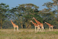 Girafes de Rothschilds Photographie stock libre de droits