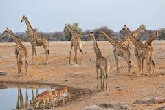Girafes de taille au parc national d'etosha Images stock