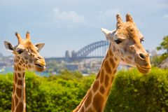 Girafes de zoo de Taronga Photographie stock libre de droits