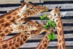 Girafes drôles Photo libre de droits