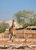 Girafes en Al Ain Zoo Photo stock