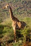 Girafes en Namibie Photo libre de droits