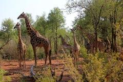 Girafes en Namibie Photos stock
