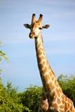 Girafes en Namibie Photographie stock libre de droits