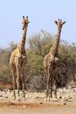 Girafes en parc Namibie d'Etosha Images libres de droits