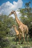 Girafes en parc national d'Etosha, Namibie photos stock