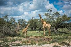 Girafes en parc national d'Etosha, Namibie photographie stock libre de droits
