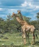 Girafes en parc national d'Etosha, Namibie image stock
