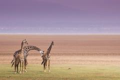 Girafes en parc national de Manyara de lac, Tanzanie Image stock