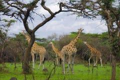 Girafes en parc national de Mburo de lac Images libres de droits