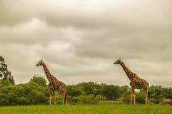 Girafes en parc naturel Photo libre de droits