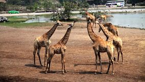 Girafes en Safari Park clips vidéos