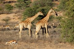 Girafes et antilopes de springbok - Afrique du Sud Photo stock