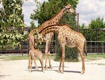 Girafes et bébé Photos libres de droits
