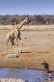 Girafes et hyène au parc Namibie d'Etosha Photo libre de droits