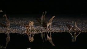 Girafes et hyène dans le point d'eau banque de vidéos