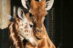 Girafes - Frances Photographie stock