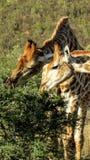 Girafes grignotant le buisson d'acacia Photos stock