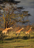 3 girafes i mitt av en nationalpark i sjön Nakuru National Park Arkivfoton
