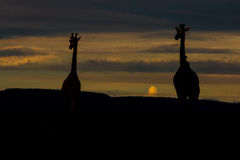 Girafes le soir Photos stock