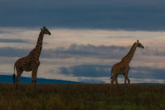 Girafes le soir Images stock