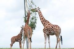 Girafes mangeant des feuilles d'un arbre Photographie stock libre de droits