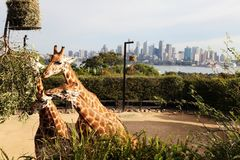 Girafes mangeant des feuilles, zoo de Taronga, Australie de Syndey Images stock