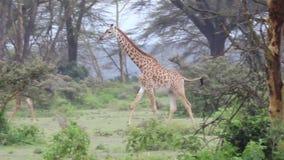 Girafes marchant avec élégance et regardant alors clips vidéos