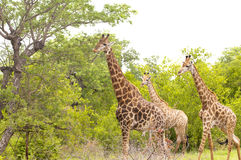Girafes nella sosta nazionale di Kruger Immagine Stock