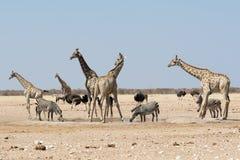 Girafes nerveuses et autre faune recherchant un lion Photos libres de droits