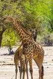 Girafes, parc national de Kruger photographie stock