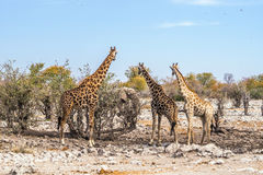 3 girafes regardant l'éléphant africain près du point d'eau de Kalkheuwel en parc national d'Etosha Photo libre de droits