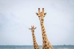 Girafes regardant l'appareil-photo Image libre de droits
