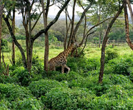 Girafes sauvages dans la savane Photographie stock