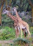 Girafes sauvages dans la savane Photographie stock libre de droits