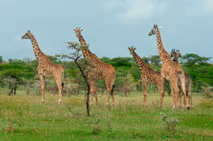 Girafes sauvages dans la savane Photo stock