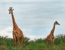 Girafes sauvages dans la savane Image stock