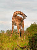 Girafes sauvages dans la savane Images stock