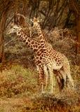 Girafes sauvages dans la savane Image libre de droits