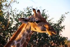 Girafes sauvages en Afrique photo libre de droits