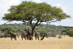 Girafes sous l'arbre Photo stock