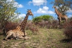 Girafes sur la savane en Afrique du Sud Photographie stock libre de droits