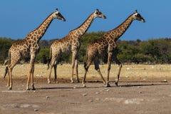 Girafes, trois dans une rangée Photos libres de droits