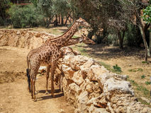 Girafes, zoo biblique de Jérusalem en Israël Photographie stock