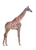 giraff Royaltyfri Fotografi