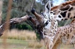 Giraff Obraz Stock