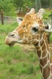 giraff Arkivbild