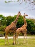 giraff 3 Royaltyfri Foto